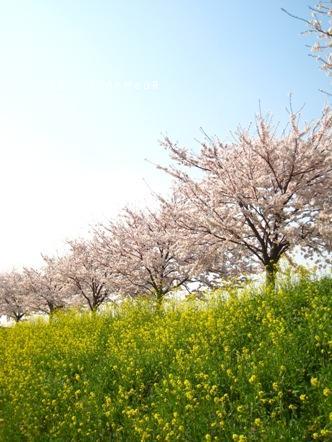 005菜の花&サクラ.jpg